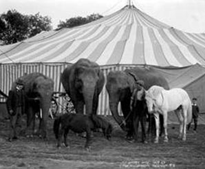 Three elephants and a horse and pony outside a Big Top with two men and a boy